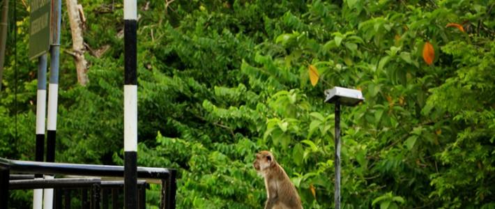 postcard – Taiping monkey