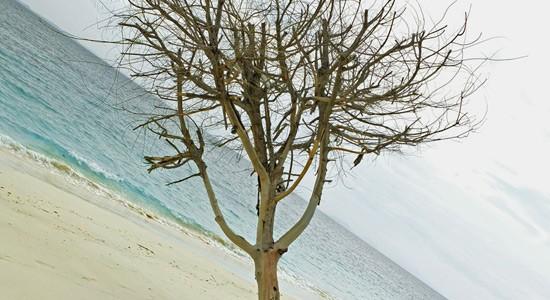 postcard – Pulau Babi Besar tree