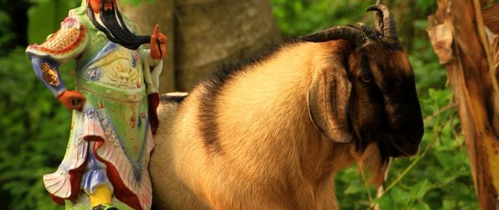 postcard – Koh Tao goat