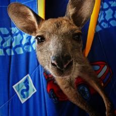 Babysitting Big Foot – helpx with kangaroos